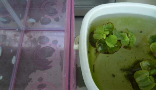 カルキ抜きを使わないメダカの稚魚を飼育するのに適した水の作り方
